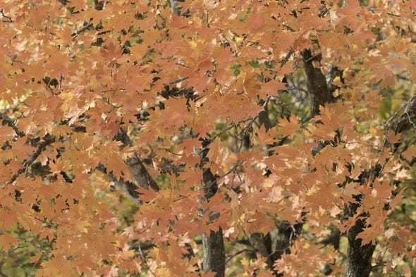 Leaves changed color during the fall season in central Missouri