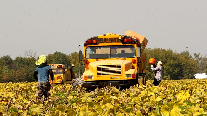 Workers utilize re-purposed school buses to haul harvested pumpkins at the Stumler Farms field on the North side of State Road 60 West Wednesday afternoon