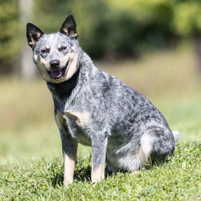 This week's featured pet from the White River Humane Society is Bea. Bea is a beautiful cattle dog that is about 2 1/2 years old. She is very smart and would do best with an active owner. She will be spayed, dewormed, up to date on all vaccinations and microchipped before being adopted. To meet Bea, stop by the shelter on Pumphouse Road or call 812-279-2457.