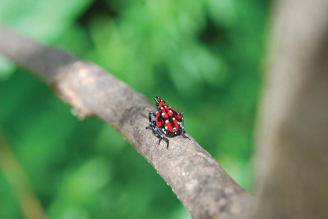 The spotted lanternfly