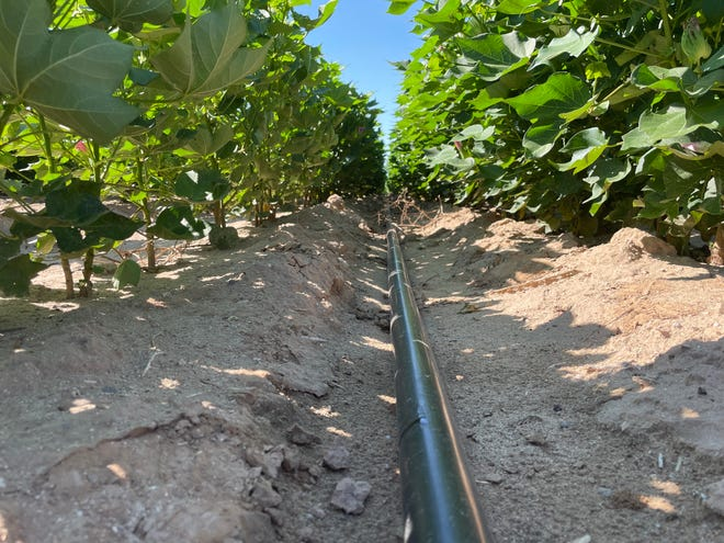 N-Drip irrigation emitters deliver water to cotton plants on Bill Perry's farm in the Harquahala Valley on Aug. 19, 2021.