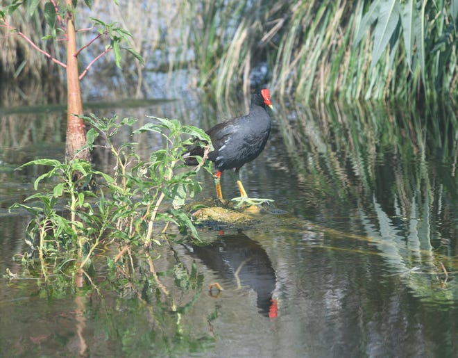 Spending its days hunting among north Florida's watery weeds, the common gallinule tiptoes over the surface. Soon the bright red face shield will turn a dull brown for the winter.