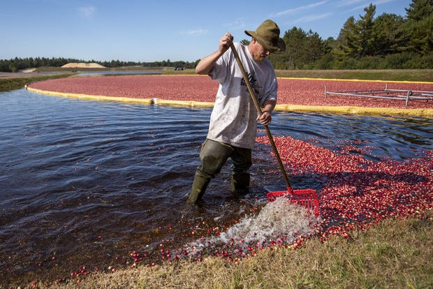 A worker corals stray cranberries Monday, Sept. 27, 2021, at the Wisconsin Cranberry Research Station in Black River Falls, Wis.