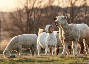 Provide a balanced mineral year-round to optimize performance for your flock or herd.