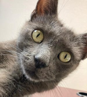 Name: Pistol Pete  Gender: Male  Age: 3 years old  Species: Cat  Breed: Domestic Shorthair – Gray  Weight: 11 pounds  Orphaned Since: August 2021  Adoption Fee: $65.00     Heya, Pistol Pete here and I'm quite the catch if I do say so myself! I'm an easy-going social butterfly who loves all people – even children. I am afraid of dogs though so none should be in my future home. I just can't wait until you take me home and play with me. I am a handsome boy who is a cuddler and lap cat. Can you picture us together? If so, call SPCA Florida right away and let's meet!