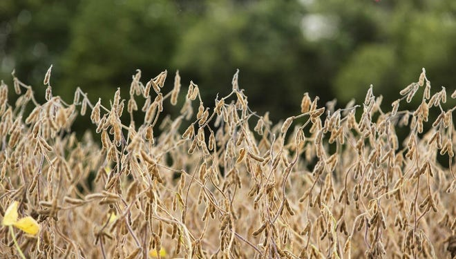 Soybeans in an Illinois field.