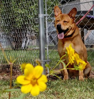 Koda is the Humane Society Pet Rescue and Adoption Center's Pet of the Week for Oct. 4.