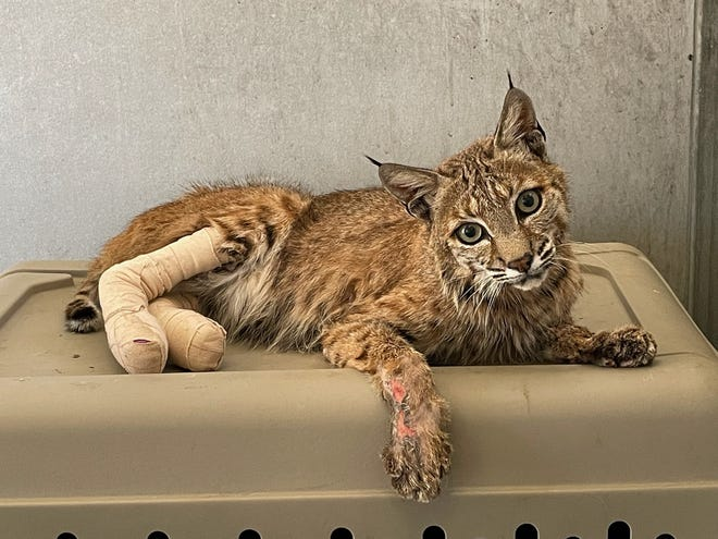 """Bobcat """"Lava Bob"""" was rescued in late June 2021 on the edge of a golf course near the Lava Fire burning in Siskiyou County. He had 3rd, 4th and 5th degree burns on his legs and paws, and was horribly emaciated from not being able to hunt. In early July, he went to Gold Country Wildlife Rescue where U.C. Davis vets treated his burns. He's now normal weight and on the mend. Photo date is Aug. 2, 2021."""