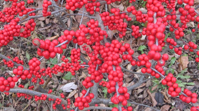 Bushes with berries add color to winter's blah days.
