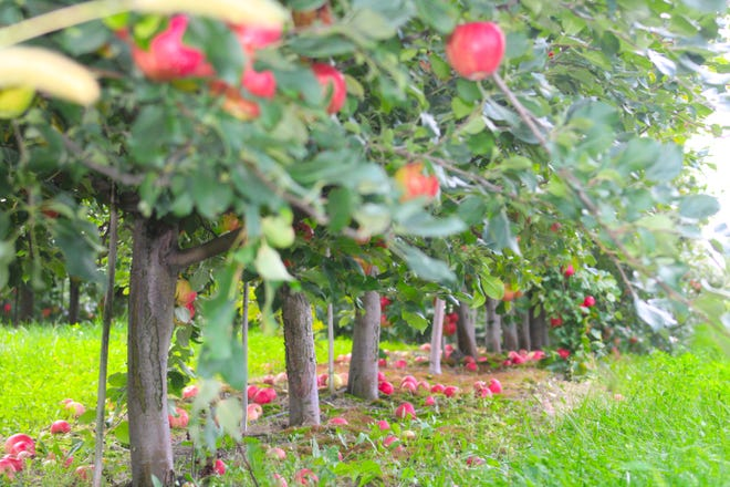 Trees from Royal Farms' apple orchard, south of Charlevoix.