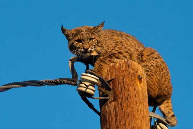 A bobcat sits perched atop a telephone pole on Friday, Oct. 1, 2021, after being chased by a pair of coyotes in Oak Hills.