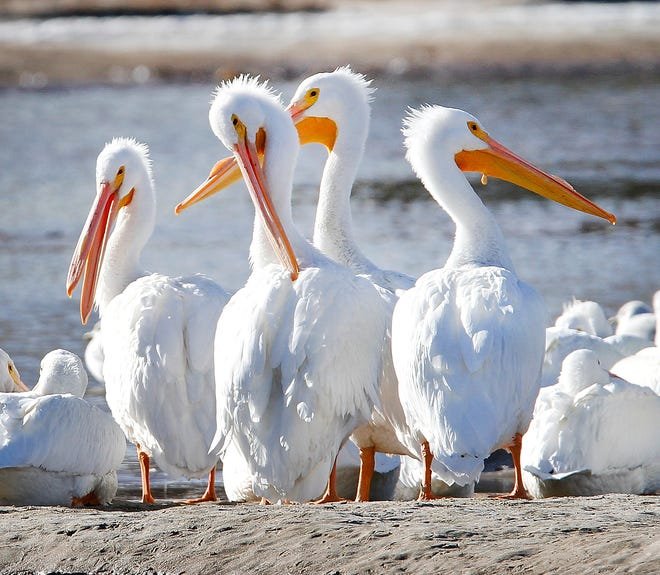 White pelicans line the Oklahoma River in Oklahoma City. October is a good time to spot white pelicans at Lake Hefner, Lake Overholser and other nearby bodies of water.