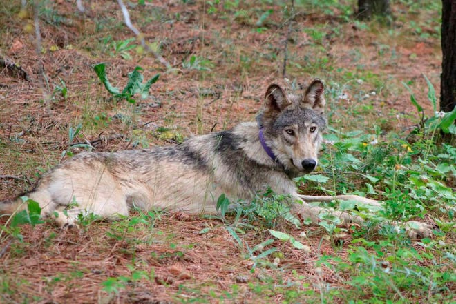 The gray wolf named OR-93 is seen near Yosemite, Calif., in February.