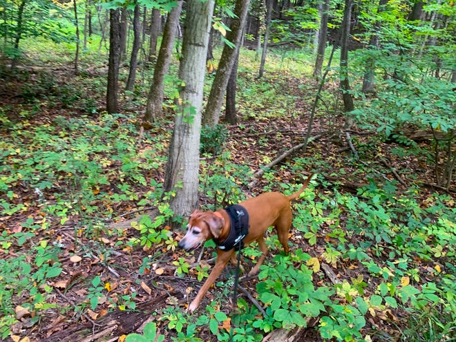 Rosie steps along Helen's Way, a new trail in the Victor Hiking Trails system.