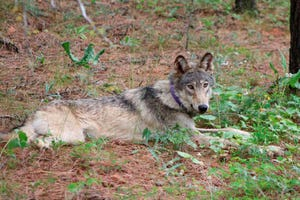 The California Department of Fish and Wildlife released this February 2021 photo of OR-93, a young male wolf that may have traveled through northern Ventura County this month. The radio collar seen here stopped transmitting in April, making it difficult for biologists to track his travel.