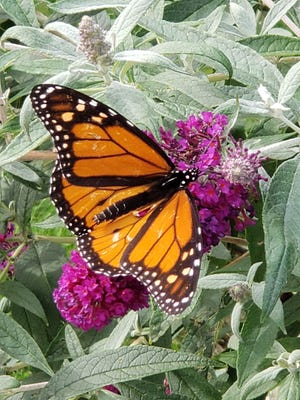 The five butterfly bushes in Agria's yard are a magnet for monarch butterflies.
