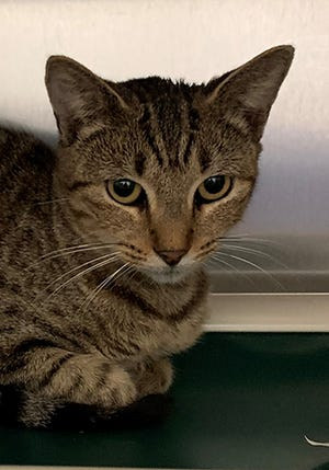 Tabitha, a 1-year-old female domestic shorthair tabby, is available for adoption at the St. Johns County Pet Center, 130 N. Stratton Road. Cat adoption fees, $30 for males and $40 for females, include microchips, neutering/spaying, rabies vaccinations and shots. Call 904-209-6190.
