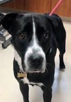 Prince, a 1-year-old male Labrador and boxer mix, is available for adoption at the St. Johns County Pet Center, 130 N. Stratton Road. Dog adoption fees, $45 for males and $60 for females, include microchips, neutering/spaying, rabies vaccinations and shots. He is heartworm positive, but the Friends of the St. Johns County Pet Center is giving a $250 voucher toward his treatment. Call 904-209-6190.