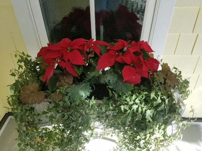 Poinsettia arrangement