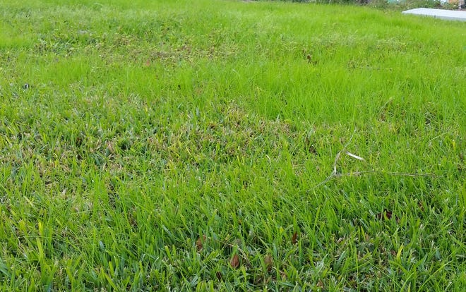 Over-seed with ryegrass to keep your lawn green all winter.