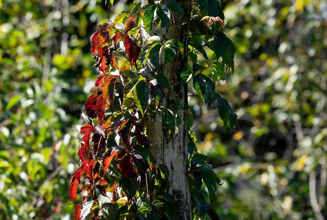The colorful Woodbine vine announces coming of fall.