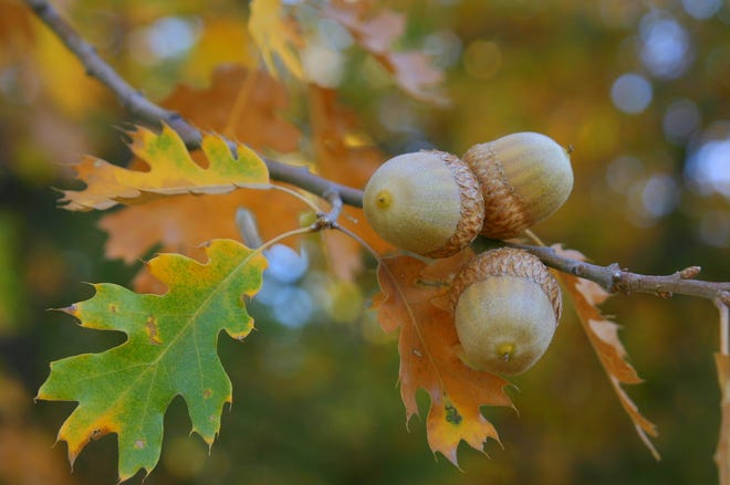 Have you noticed more acorns falling around you? You could be in the middle of a mast year for oak trees.