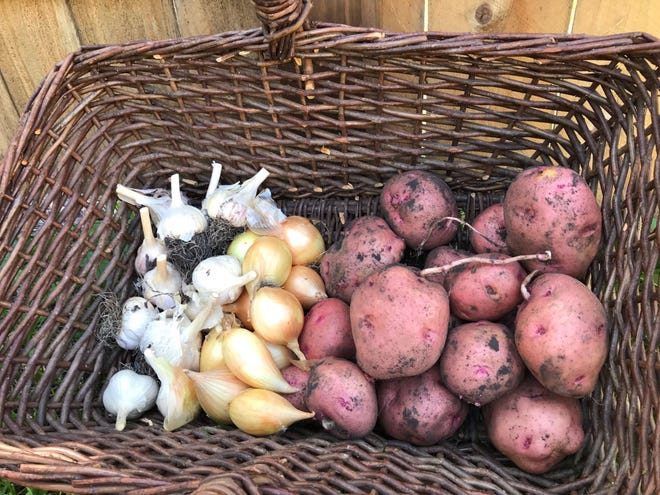 Onions, garlic and potatoes should be stored in cool and dry conditions.