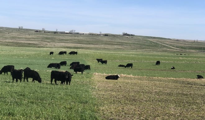Establishing a winter cereal for grazing next spring will allow producers to delay pasture turnout, giving drought-stressed pastures more time to recover.