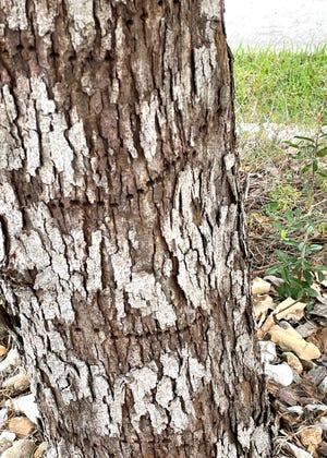 Lacey oak with woodpecker rings