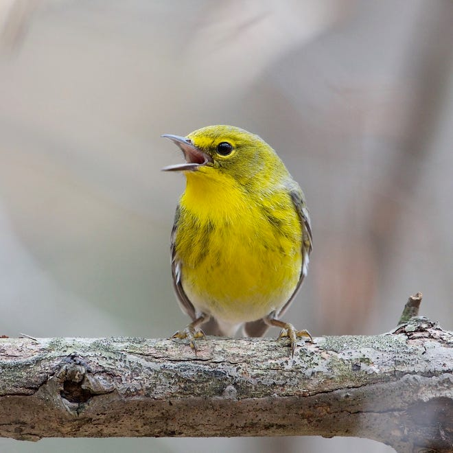 A pine warbler sings its song. Many warbler species can be seen or heard in the Bloomington area in the spring and fall as they migrate through Indiana.