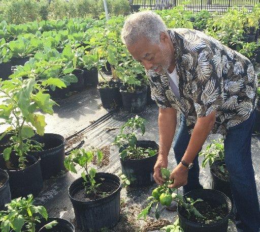 Stewart Bosley picks green peppers at West Palm Beach's Urban Farm on Henrietta Avenue. (Tony Doris / The Palm Beach Post)