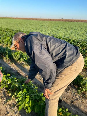 """Farmer Steve Goetz examines a new crop of green beans at his family farm. """"We pick our produce specifically for Farmington,"""" Goetz told Market Manager Walt Gajewski."""