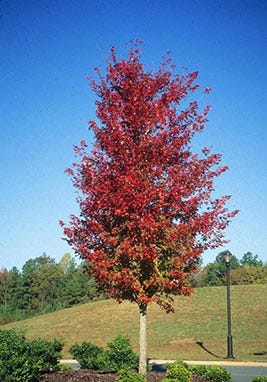 The red maple is possibly the native tree with the showiest fall display in Florida.