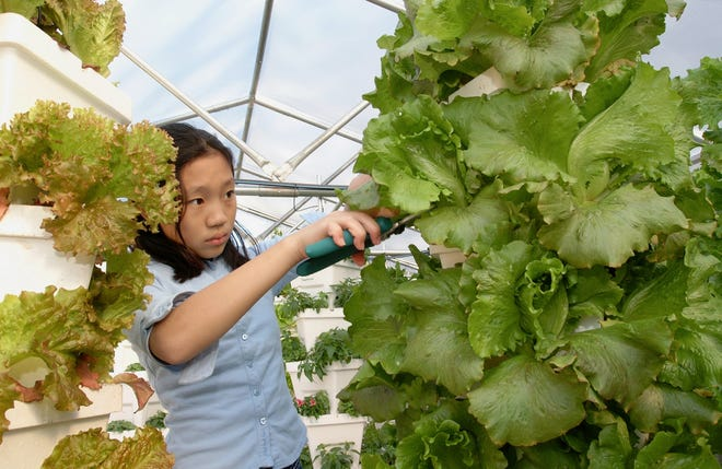 Fifth-grader Shao Hao, 11, harvests hydroponically grown lettuce in a greenhouse at Norton Elementary School in Gainesville.