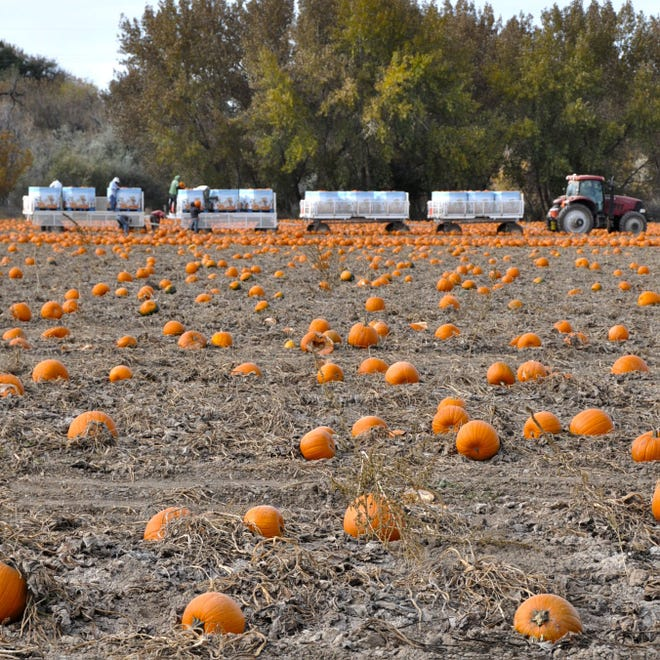 Pumpkins are harvested on a Pueblo farm in this October, 2021 photo. Small to medium produce farms and dairies are the two agricultural sectors expected to see the most impact from the Ag Workers Rights Act, which was signed by Colorado Gov. Jared Polis on June 24. A draft of the new rule is due by the end of the month, with the Colorado Department of Agriculture holding listening sessions to gather input.