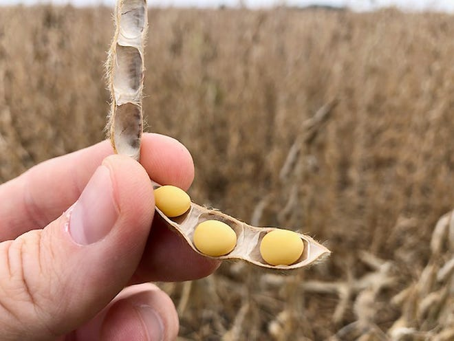 A soybean pod from a Livingston County field shows how the beans are looking at harvest time this year.