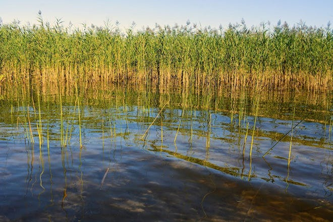 A mature stand of phragmites is seen growing just offshore on Lake Huron.