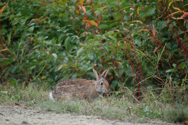 A New England cottontail rabbit pauses before disappearing into a thicket after it was released at the Wells Reserve at Laudholm in an effort to bolster the local population of this state endangered species.