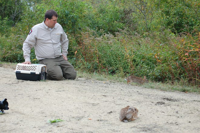 Cory Stearns, wildlife biologist with the Maine Department of Inland Fisheries and Wildlife, monitors two New England cottontails after releasing them at the Wells Reserve on Sept. 30.