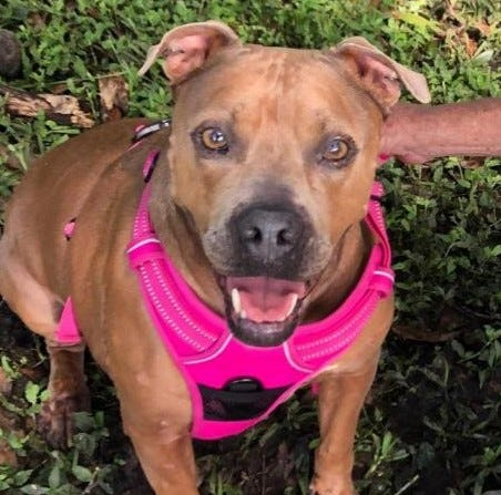Lilly, a 4-year-old female pit bull terrier, is available for adoption through Satchel's Last Resort, 8101 Coash Road, Sarasota.