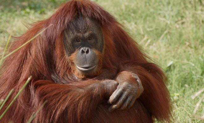 Orangutans are among the most intelligent primates on earth. [Photo courtesy Jessie Cohen, Smithsonian National Zoological Park]