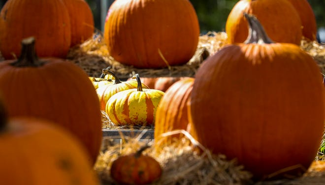 Pumpkins abound at the Pumpkin Festival, happening this weekend at Weber Farm in Harrison.