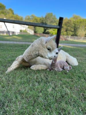 Alpaca mom Micaela snuggles with her new baby at Mistletoe Farm in Franklin, Tenn.