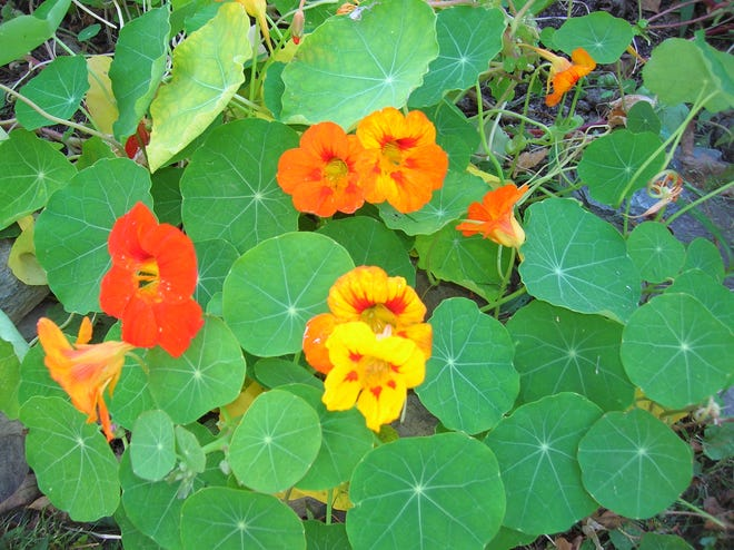 Add flowers to your garden for more reasons than one. Flowers like nasturtiums attract pollinators and insect predators that can actually protect your plants. Plus, the flowers and leaves of nasturtiums can be added to salads.