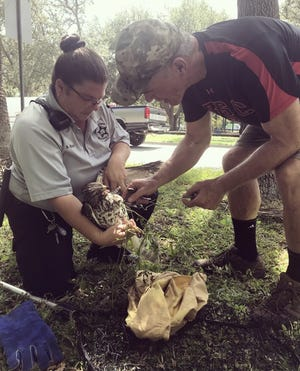 Stephanie Boor from Sarasota County Animal Services and William Marcin of the Wildlife Center of Southwest Florida attend to an injured juvenile Cooper's hawk.