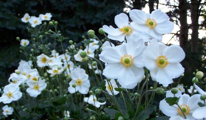 The anemone Honorine Jobert