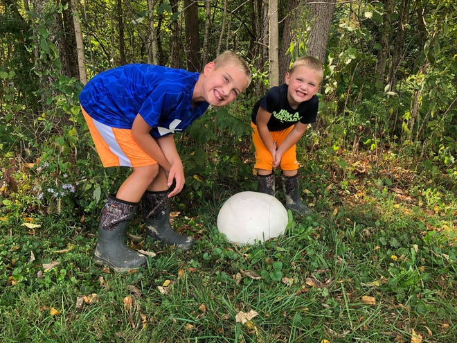 Giant puffballs can grow as large as a basketball and are one of the most conspicuous fall mushrooms found in Ohio.