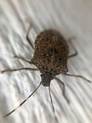 The brown marmorated stink bug is invading the area.