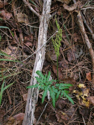 The Southern grape-fern grows in rather unspecialized places, including fields and meadows, as well as shady or open forests.