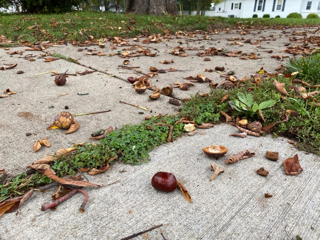 """Chestnuts and pieces of chestnuts are pictured Tuesday on a sidewalk in downtown Tecumseh. Nut-bearing trees are experiencing an abundance of nuts this year in what biologists call a """"seed mast."""""""